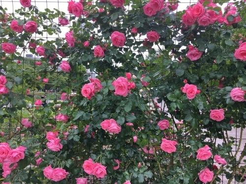 バラ、ばら、薔薇の季節ですよ~ん♪_e0326953_13563523.jpg