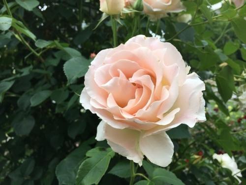 バラ、ばら、薔薇の季節ですよ~ん♪_e0326953_13570896.jpg