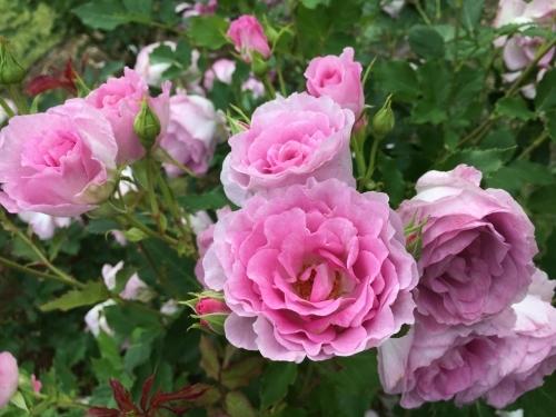 バラ、ばら、薔薇の季節ですよ~ん♪_e0326953_13595962.jpg