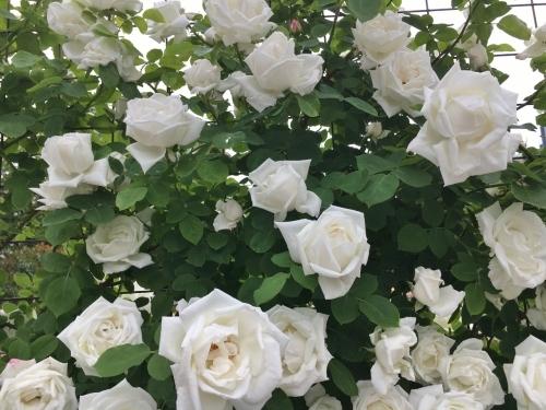 バラ、ばら、薔薇の季節ですよ~ん♪_e0326953_14002679.jpg