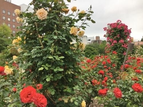 バラ、ばら、薔薇の季節ですよ~ん♪_e0326953_14030484.jpg