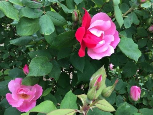 バラ、ばら、薔薇の季節ですよ~ん♪_e0326953_18442987.jpg