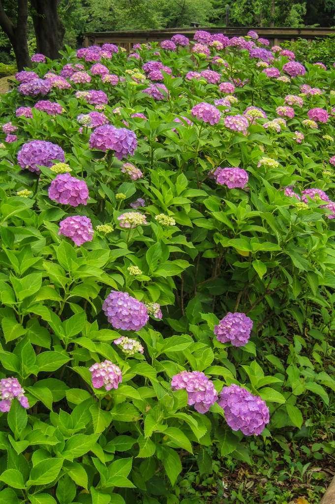 紫陽花と桔梗とフシグロセンノウ_f0044056_10323284.jpg