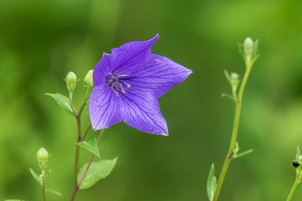 紫陽花と桔梗とフシグロセンノウ_f0044056_10331993.jpg