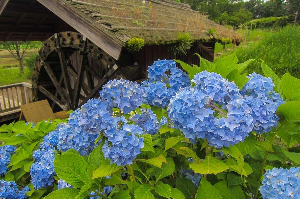 紫陽花と桔梗とフシグロセンノウ_f0044056_10360077.jpg