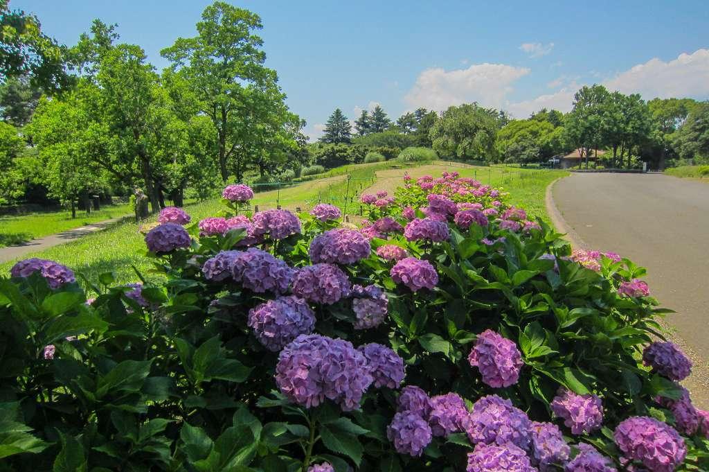 紫陽花と桔梗とフシグロセンノウ_f0044056_10433933.jpg
