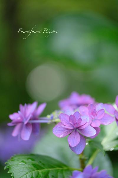 紫陽花いろいろ **_d0344864_22034135.jpg