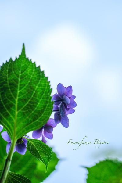 紫陽花いろいろ **_d0344864_22041764.jpg