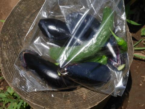 インゲン、ニンジン、青じそ、ブルーベリー初収穫6・20~21_c0014967_09002729.jpg