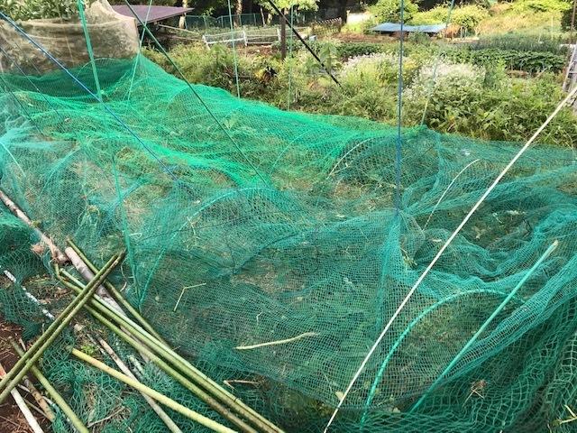 インゲン、ニンジン、青じそ、ブルーベリー初収穫6・20~21_c0014967_09022930.jpg