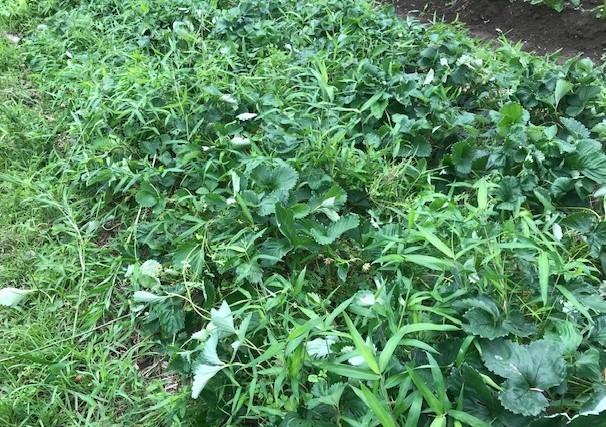 インゲン、ニンジン、青じそ、ブルーベリー初収穫6・20~21_c0014967_09031508.jpg