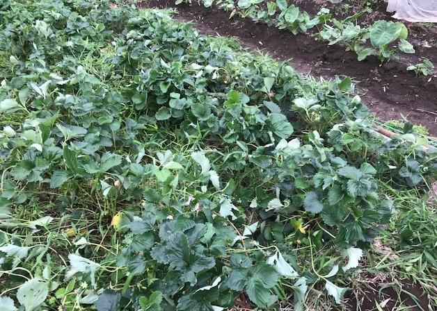 インゲン、ニンジン、青じそ、ブルーベリー初収穫6・20~21_c0014967_09034347.jpg
