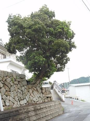 安浦、ヤマモモ伝説の地。今年もこの季節_e0175370_23163901.jpg