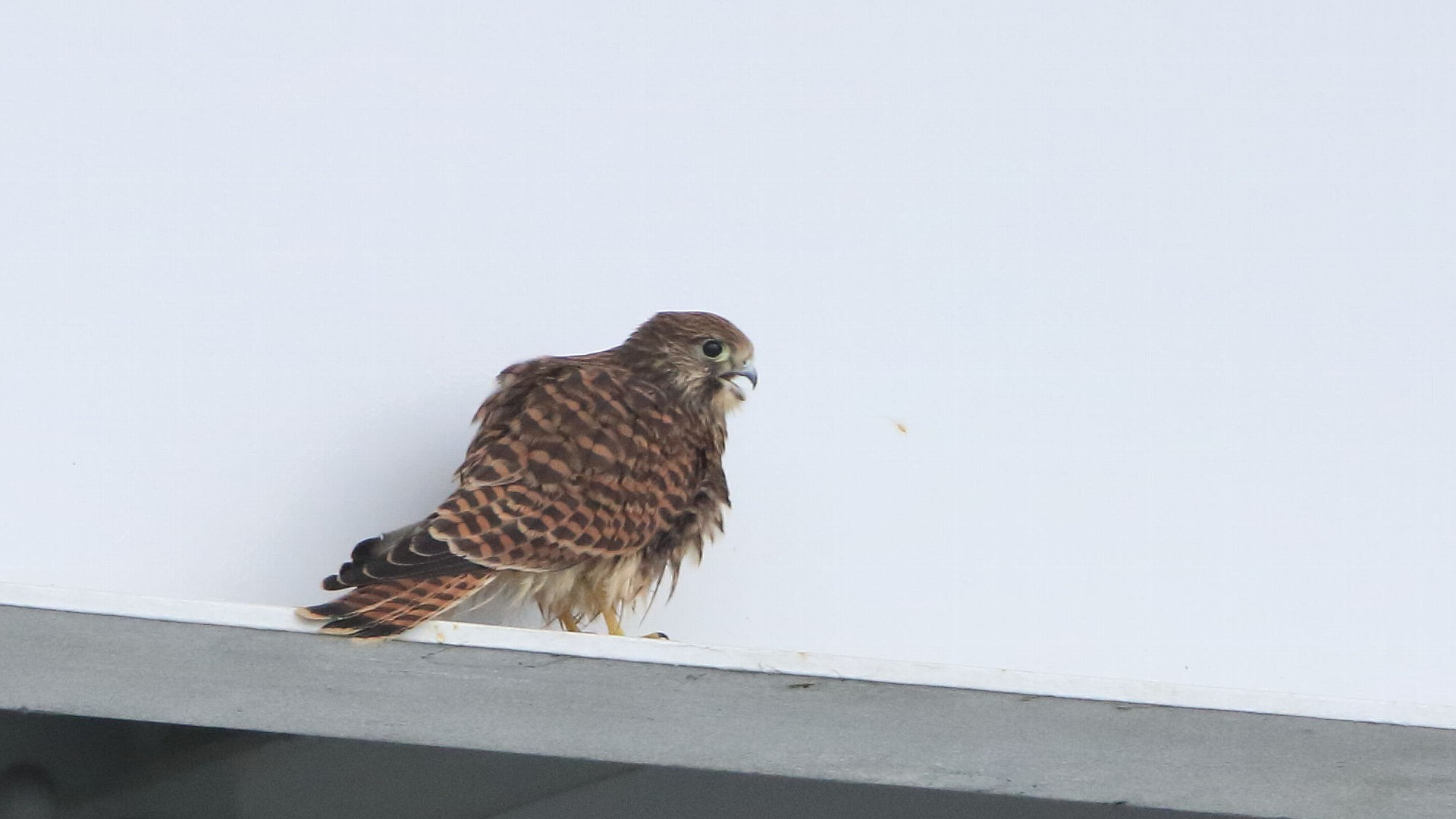 調布駅前にチョウゲンボウ幼鳥が落ちていた!_f0105570_21100748.jpg