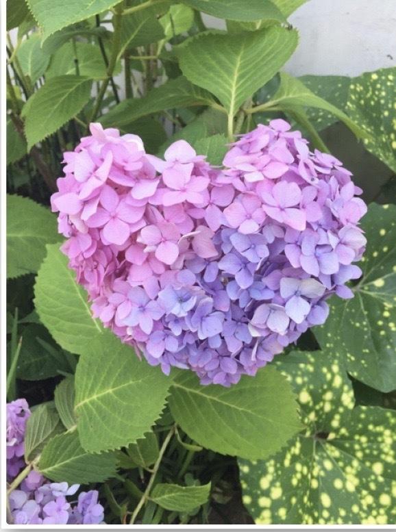 卵焼きと紫陽花と_e0281793_16161698.jpeg