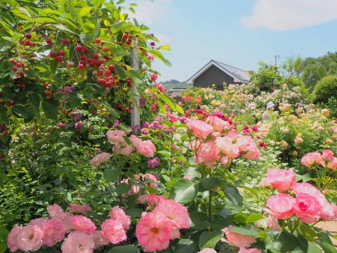 オープンガーデン大澤邸(平川市)*2020.06.18_b0147224_814436.jpg