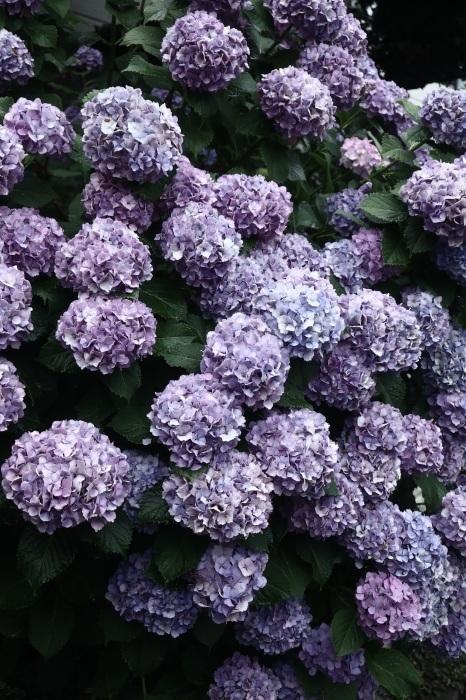 梅雨はやっぱり紫陽花_d0124248_21301147.jpeg