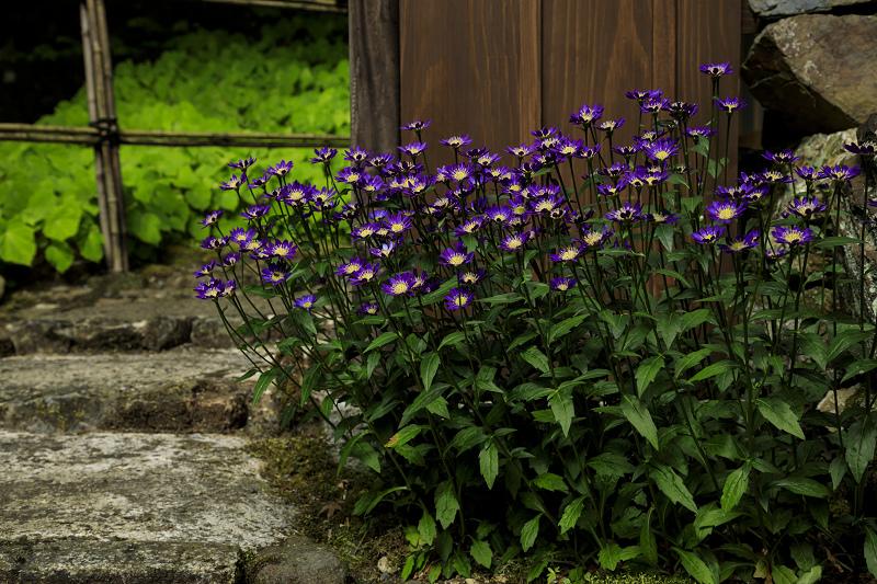 新緑と山野草(古知谷阿弥陀寺)_f0155048_19513679.jpg