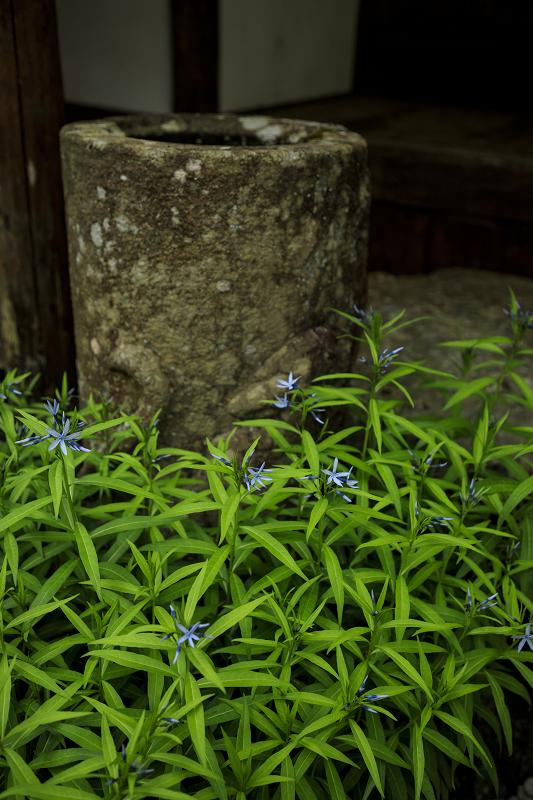 新緑と山野草(古知谷阿弥陀寺)_f0155048_19523515.jpg