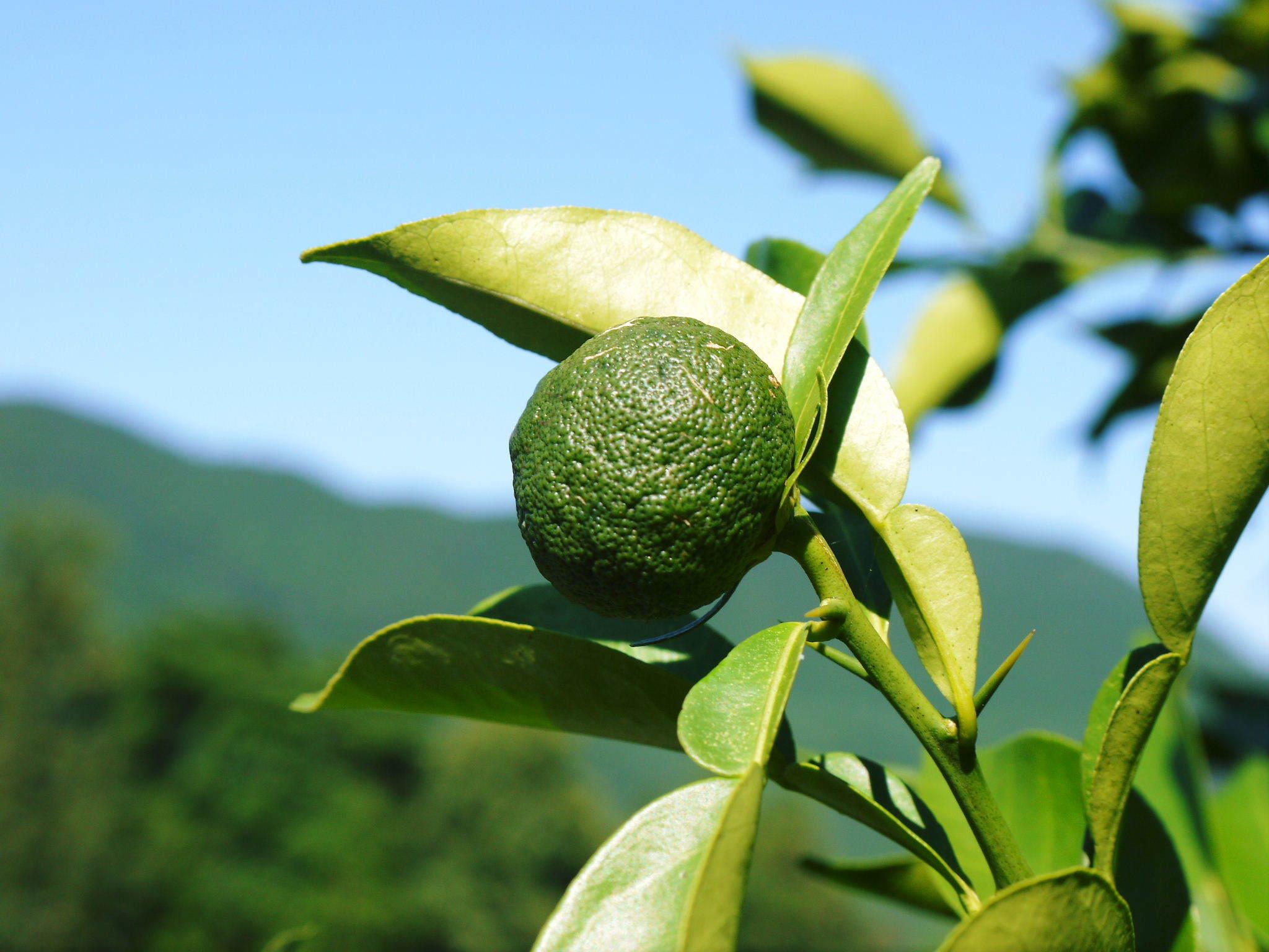 香り高き柚子(ゆず) 着果の様子を現地取材(2020) 今年もまずは青柚子を9月中旬からの出荷予定です!_a0254656_17344267.jpg