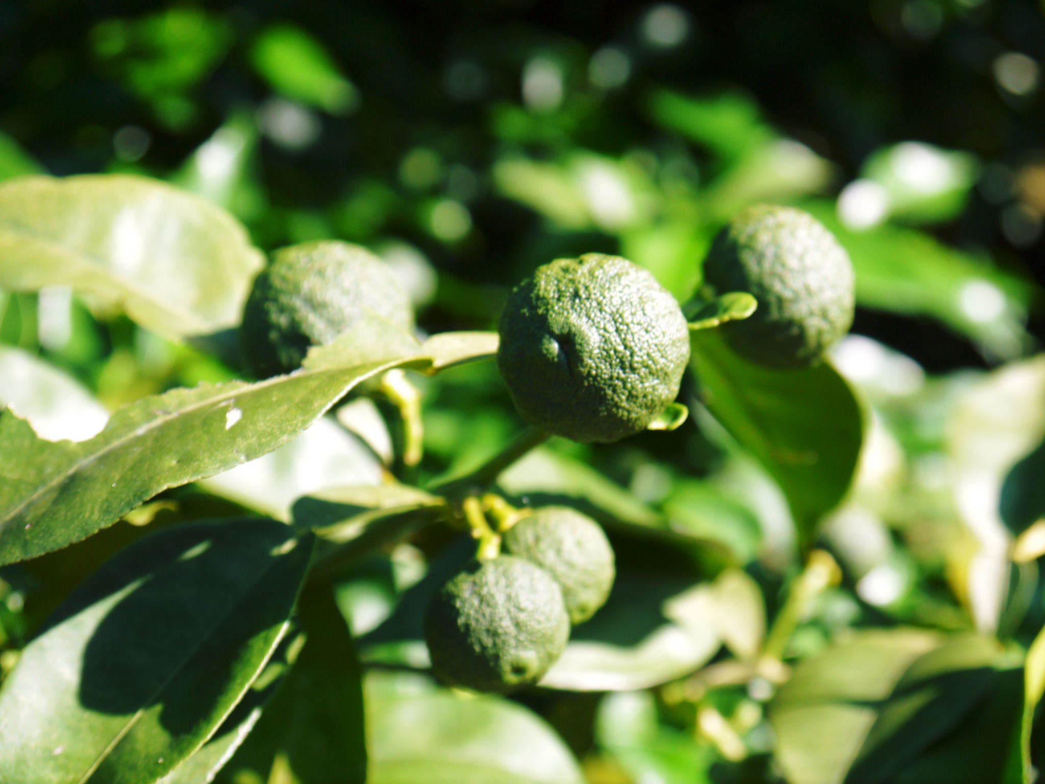 香り高き柚子(ゆず) 着果の様子を現地取材(2020) 今年もまずは青柚子を9月中旬からの出荷予定です!_a0254656_18511482.jpg