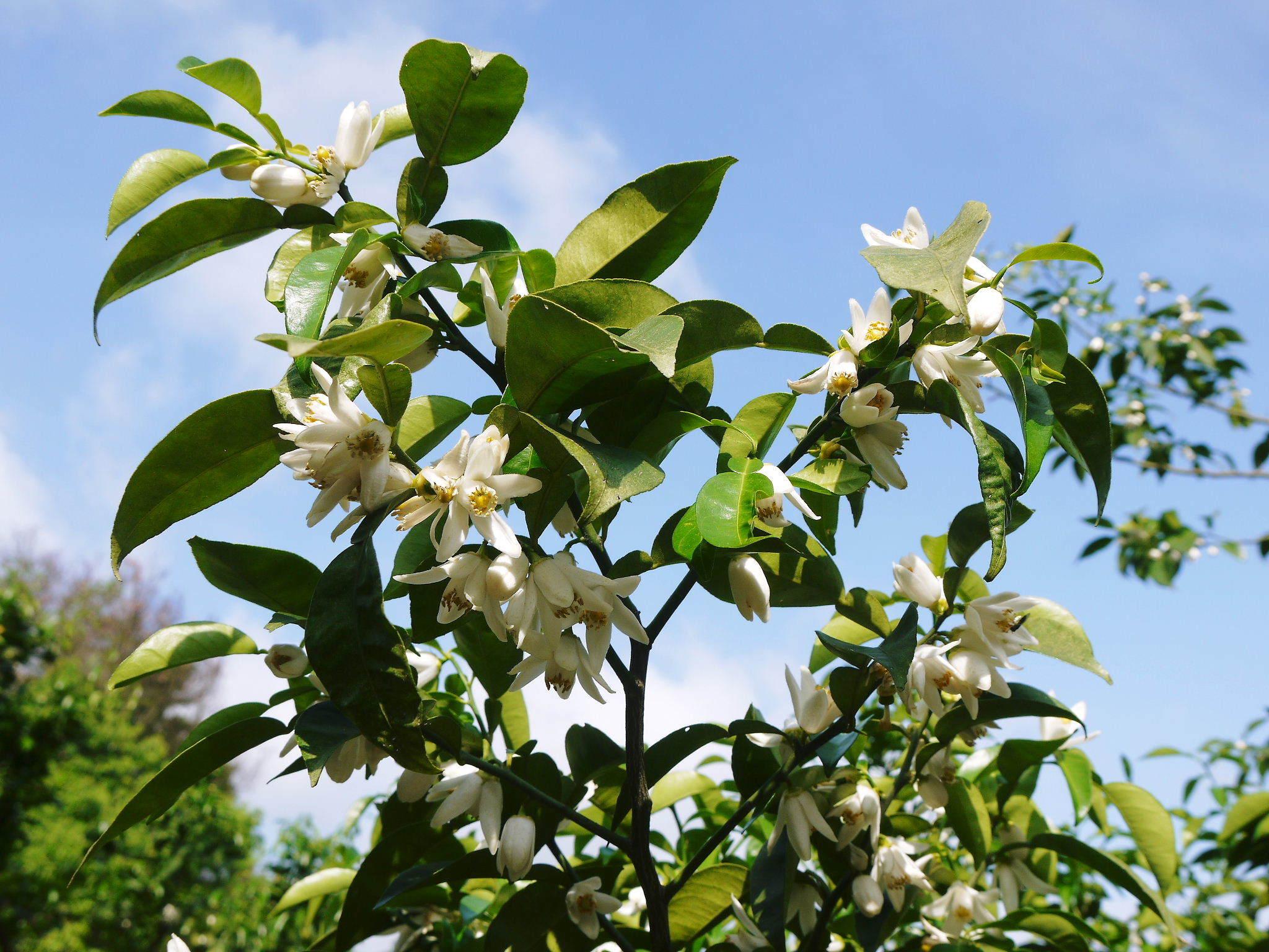 香り高き柚子(ゆず) 着果の様子を現地取材(2020) 今年もまずは青柚子を9月中旬からの出荷予定です!_a0254656_18541401.jpg
