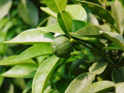 香り高き柚子(ゆず) 着果の様子を現地取材(2020) 今年もまずは青柚子を9月中旬からの出荷予定です!_a0254656_18555094.jpg