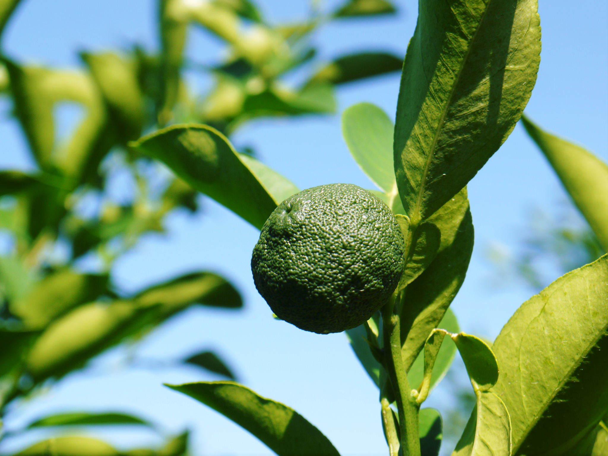 香り高き柚子(ゆず) 着果の様子を現地取材(2020) 今年もまずは青柚子を9月中旬からの出荷予定です!_a0254656_18575166.jpg