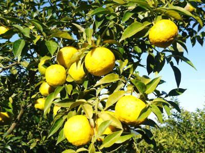 香り高き柚子(ゆず) 着果の様子を現地取材(2020) 今年もまずは青柚子を9月中旬からの出荷予定です!_a0254656_19035573.jpg