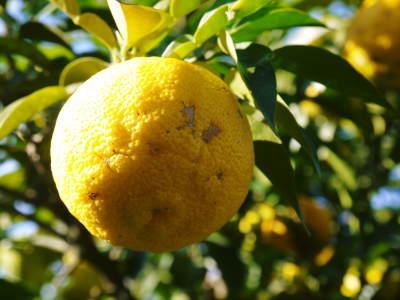 香り高き柚子(ゆず) 着果の様子を現地取材(2020) 今年もまずは青柚子を9月中旬からの出荷予定です!_a0254656_19040342.jpg
