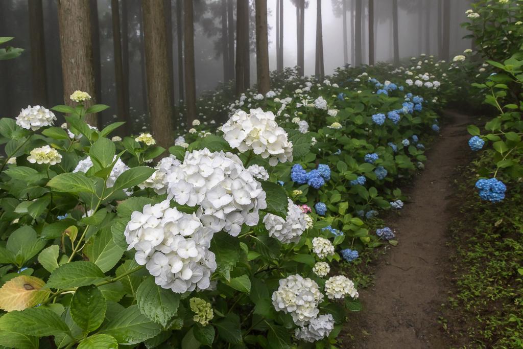 霧の森に咲く紫陽花_b0010915_21272982.jpg