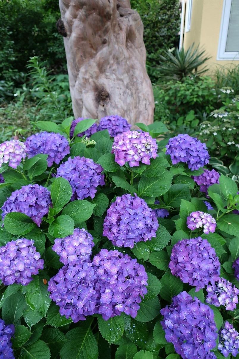 紫色のアジサイ_a0107574_08163578.jpg