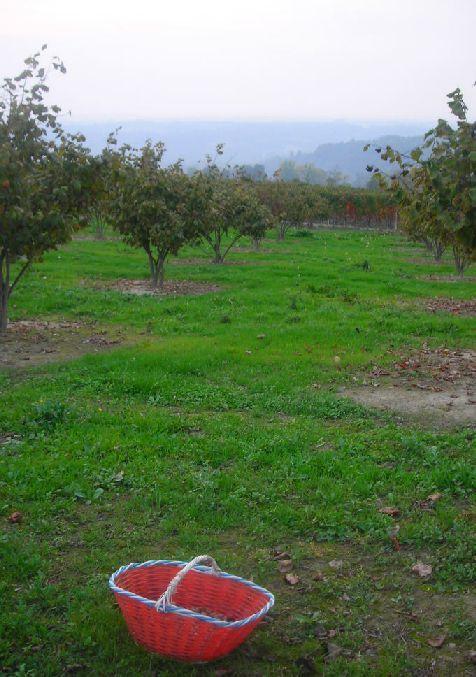 バローロのヘーゼルナッツ畑とペースト作り_b0346275_03523829.jpg