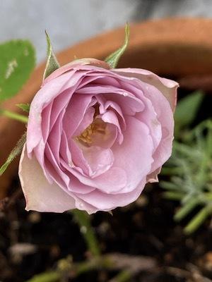 ベランダ庭の植物たち_b0241386_09271278.jpg