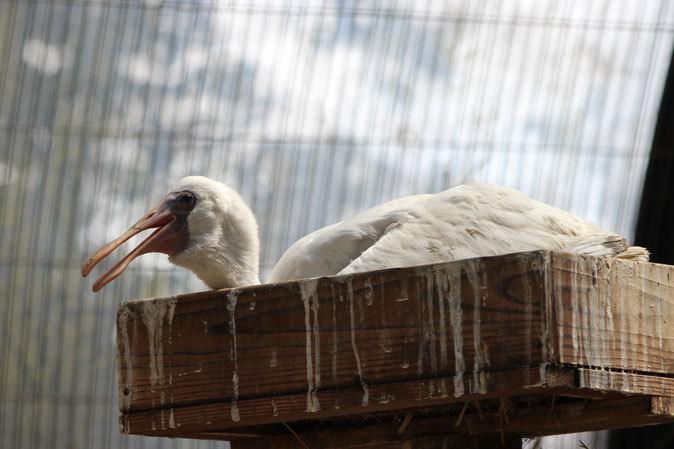 水生物園の若鳥たち~オシドリのオスはどこへ消えた?(井の頭自然文化園 July 2019)_b0355317_21354179.jpg