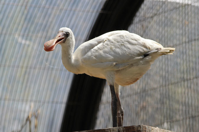 水生物園の若鳥たち~オシドリのオスはどこへ消えた?(井の頭自然文化園 July 2019)_b0355317_21382534.jpg
