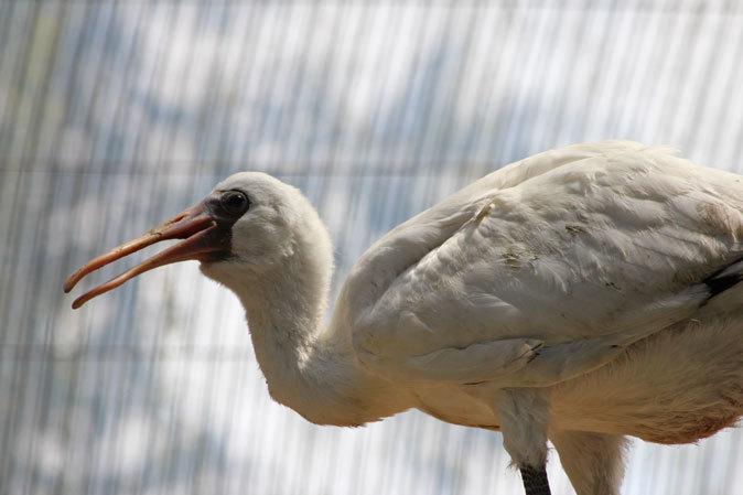 水生物園の若鳥たち~オシドリのオスはどこへ消えた?(井の頭自然文化園 July 2019)_b0355317_21391447.jpg