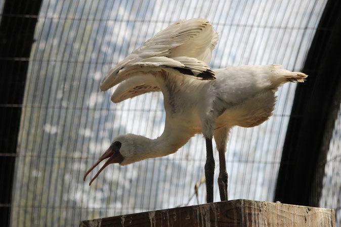 水生物園の若鳥たち~オシドリのオスはどこへ消えた?(井の頭自然文化園 July 2019)_b0355317_21393589.jpg