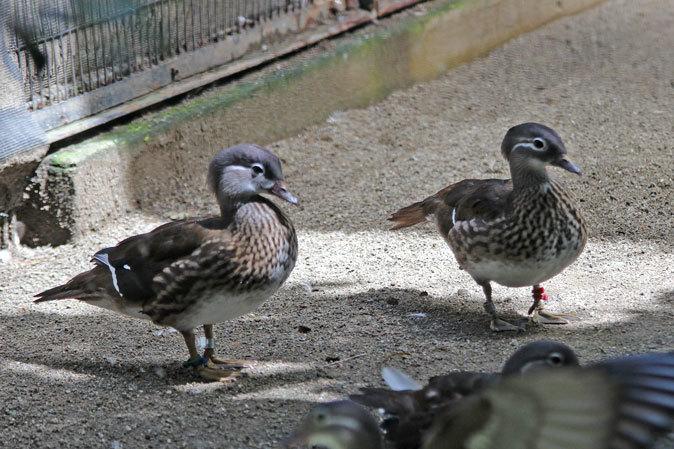 水生物園の若鳥たち~オシドリのオスはどこへ消えた?(井の頭自然文化園 July 2019)_b0355317_21400545.jpg