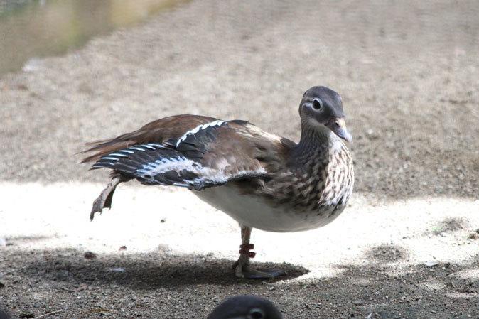 水生物園の若鳥たち~オシドリのオスはどこへ消えた?(井の頭自然文化園 July 2019)_b0355317_21435450.jpg