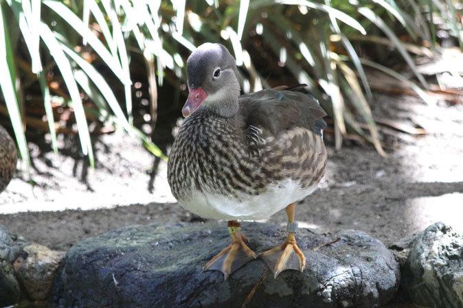 水生物園の若鳥たち~オシドリのオスはどこへ消えた?(井の頭自然文化園 July 2019)_b0355317_21482257.jpg