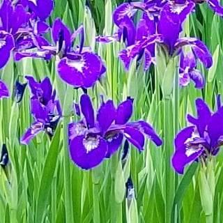6月26日  「菖蒲花咲く」の日_b0255824_19093877.jpg
