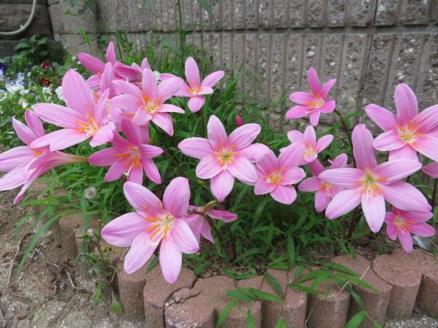 6月から咲くゼフィランサスとガクアジサイ_f0329849_17221739.jpg
