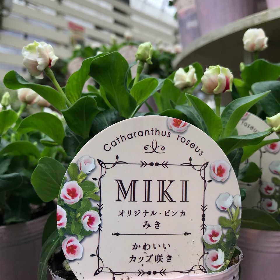 カップ咲き日々草_f0220152_18221350.jpg