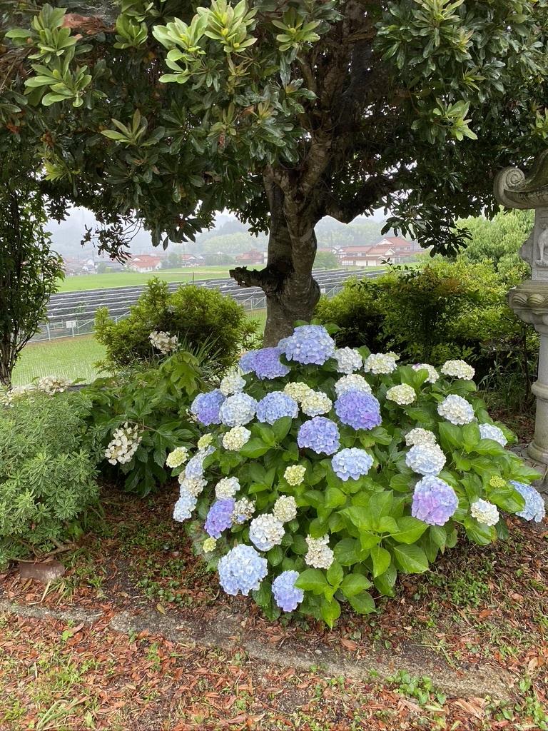 雨の日の庭の紫陽花 & デッキの紫陽花は、、。_c0334574_19421422.jpeg