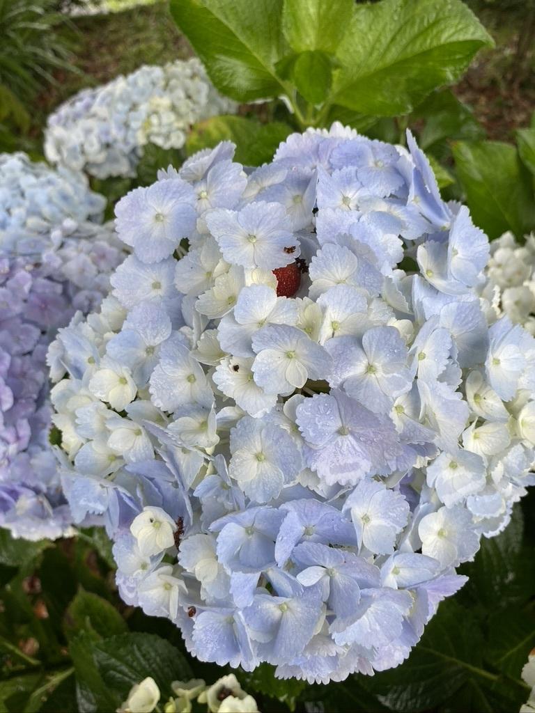 雨の日の庭の紫陽花 & デッキの紫陽花は、、。_c0334574_19423198.jpeg
