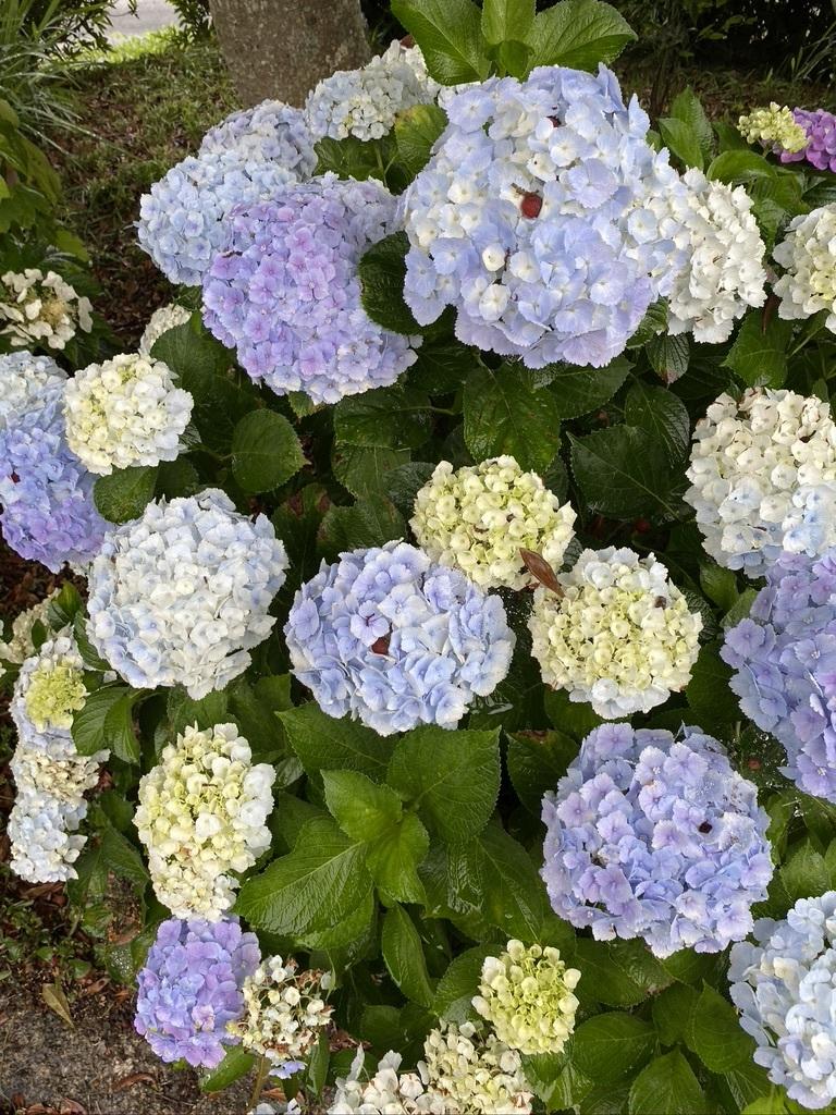 雨の日の庭の紫陽花 & デッキの紫陽花は、、。_c0334574_19425184.jpeg