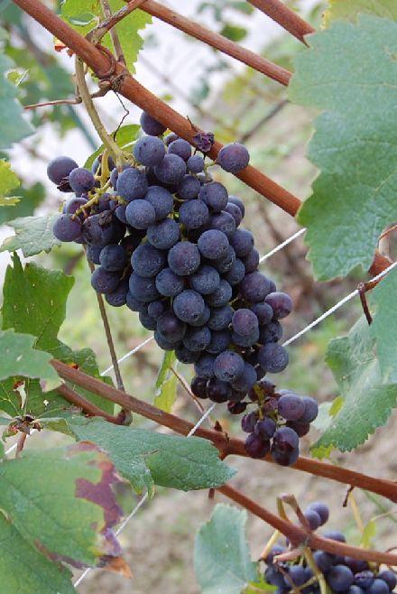 昔のバローロのワイン生産者の労働着_b0346275_05195704.jpg