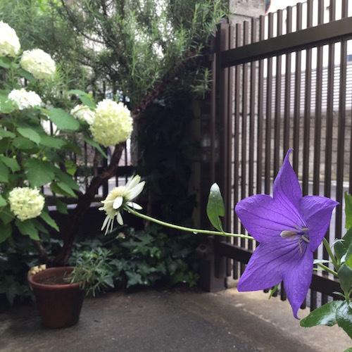 今日の庭&ヤマコ(6/25)_f0151592_19255712.jpg