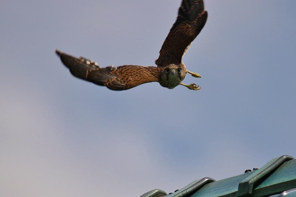 幼鳥は屋根の上、、_f0305401_14561126.jpg